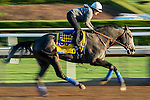 ARCADIA, CA - NOV 03: Arrogate, owned by Juddmonte Farms, Inc. and trained by Bob Baffert, exercises in preparation for the Breeders' Cup Classic at Santa Anita Park on November 3, 2016 in Arcadia, California. (Photo by Scott Serio/Eclipse Sportswire/Breeders Cup)