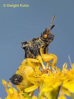 AM01-621z  Ambush Bug, male on goldenrod flowers, Phymata americana