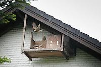 Turmfalke, am Nistkasten, Turm-Falke, Falke, Falken, Falco tinnunculus, falcon, falcons, European Kestrel, Eurasian Kestrel, Old World Kestrel, Common Kestrel