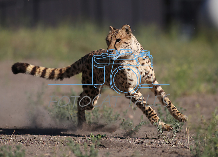 Six-year-old Jamar runs in the high-speed cheetah exercise course at the Animal Ark Wildlife Sanctuary on Thursday, June 30, 2011 north of Reno, Nev. .Photo by Cathleen Allison
