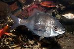 Shiner Perch swimming right