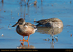 Northern Shoveler Molting Male, Young Drake, Bosque del Apache Wildlife Refuge, New Mexico
