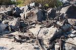 Marine iguanas sit on a rocky beach in the Galapagos Islands, Ecuador.