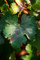 A counoise leaf.  Chateau de Beaucastel, Domaines Perrin, Courthézon Courthezon Vaucluse France Europe
