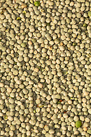 13-8-2021 Heap of harvested peas in a flat floor store <br /> ©Tim Scrivener Photographer 07850 303986<br />      ....Covering Agriculture In The UK....