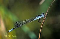 1O02-001a  Spreadwing Damselfly Male - Sweetflag Spreadwing - Lestes forcipatus