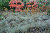 Bigtooth Maples (Acer grandidentatum), Fall colors, Lost Maples State Natural Area, Hill Country, Texas, USA