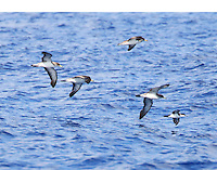 Flock of Cory's and one Audubon's shearwaters, part of a large mixed group of shearwaters found on the water