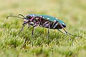 Green Tiger Beetle {Cicindela campestris} Nordtirol, Austrian Alps. June.