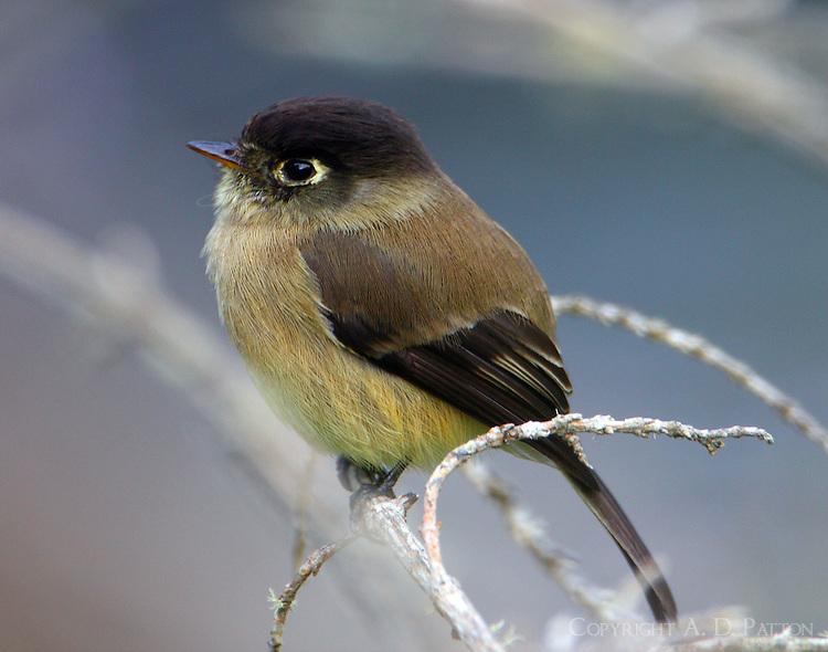 Black-capped flycatcher found along banks of Savegre River.