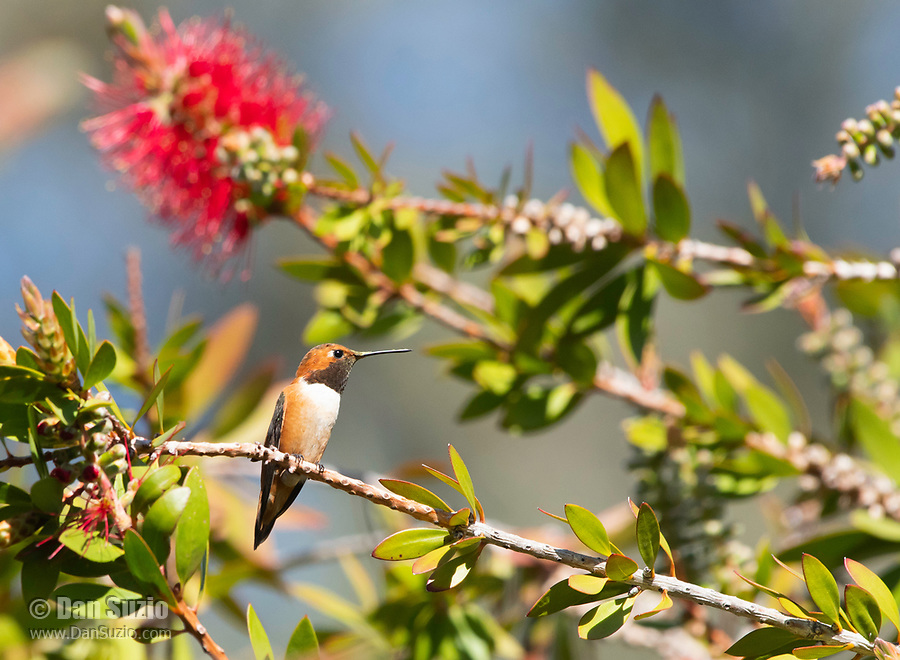 Male Rufous Hummingbird, Selasphorus rufus, perches in a Bottlebrush tree, Callistemon sp., at Sacramento National Wildlife Refuge, California