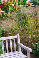 Ornamental grass switchgrass bPanicum virgatum 'Shenandoah' in fall garden with hydrangea, garden bench, Salvia elegans pineapple sage, attracting pollinators to the garden