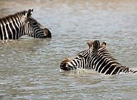 Grant's Zebras, Equus quagga boehmi, wade in a pond in Tarangire National Park, Tanzania