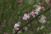 Fliederblütige Heckenkirsche, Heimat China, Tibet, Lonicera syringantha, Shrubby Honeysuckle, Honeysuckle, Lilac-flowering Honeysuckle, Clématite à fleurs de lilas