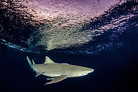 Lemon Shark (Negaprion brevirostris) at Tiger Beach; a popular shark diving spot on Little Bahama Bank in the Northern Caribbean.