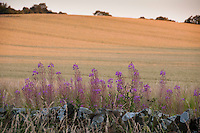Sunset over cereal field with Rosebay Willowherb at Bamburgh, Northumberland.