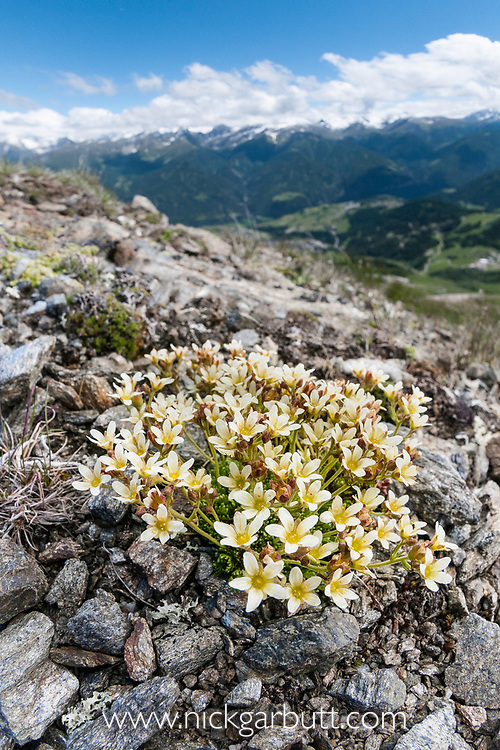 Mossy saxifrage (Saxifraga btyoides), fish eye lens view showing habitat,  Nordtirol, Tirol, Austrian Alps, Austria, , July.