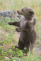 Grizzly bear club standing on its hind legs and walking in a field - CA