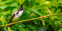 Beautiful red-whiskered bulbul on a branch with vivid green jungle forest background, in Black River Gorge national park, Mauritius Island, Africa