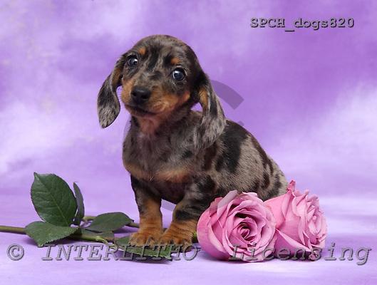 Xavier, ANIMALS, dogs, photos, SPCHDOGS820,#A# Hunde, perros
