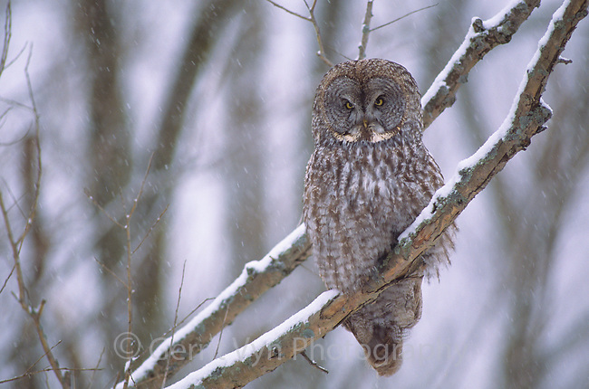 Great Gray Owl (Strix nebulosa). Ontario, Canada.