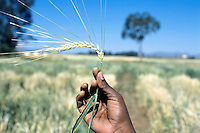 Eritrea. Southern Debud Zone. Halhale. The agricultural research station receives a grant from the Syngenta Foundation for Sustainable Agriculture of Basel in Switzerland. A woman researcher takes data on flouring dates in a barley field. She is holding in her hand a mature barley ear. © 2002 Didier Ruef
