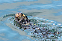 Southern Sea Otter (Enhydra lutris nereis) cracking open clam with rock--using tool.  Central California Coast.