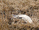 An antelope jaw bone bleaches under the sun of the Pawnee National Grasslands in February.