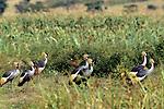 Crowned Cranes