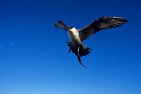 Long-tailed Jaeger (Stercorarius longicaudus) in flight. Colville River Delta, Alaska. June.