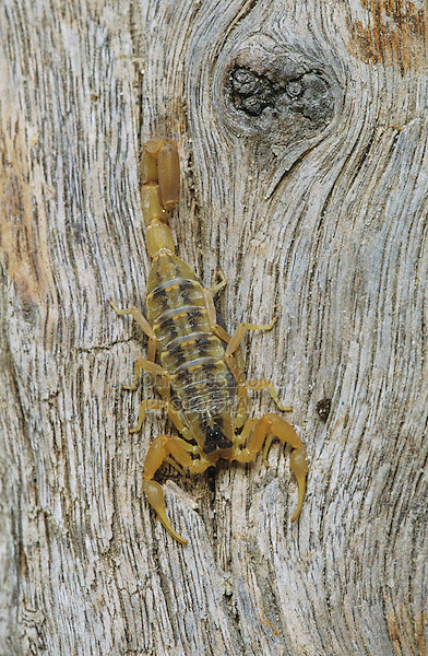 Striped Bark Scorpion (Centruroides vittatus), adult , Starr County, Rio Grande Valley, Texas, USA