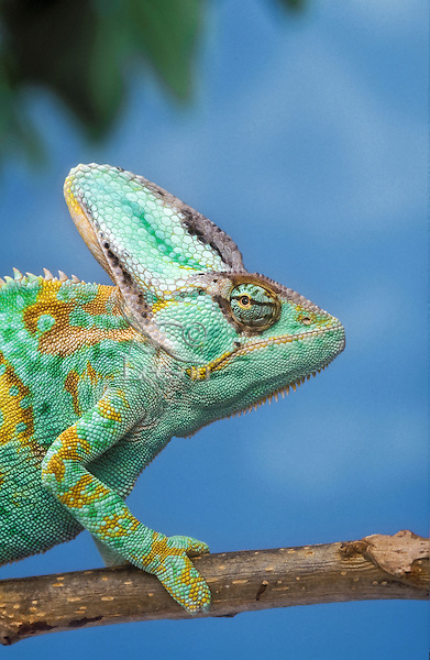 Veiled Chameleon (Chamaeleo calyptratus) male. Native to high plateau & grasslands of Yemen. Captive.