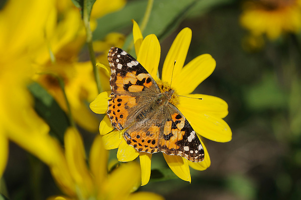 Painted Lady (Vanessa cardui), feeding on Maximilians Sunflower (Helianthus maximilianii), Comal County, Hill Country, Central Texas, USA