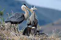 Great Blue Heron (Ardea herodias) adults with chicks at the nest. Lake County, Oregon. June.