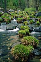 Sedges along Oak Creek<br /> Oak Creek Canyon<br /> Coconino National Forest<br /> Colorado Plateau,  Arizona