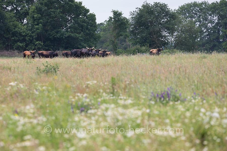 Heckrind, Heckrinder, Robustrind, Robustrinder, Offene Weidelandschaft, Halboffene Weidelandschaft, Extensive Beweidung der Grünlandflächen, Grünland, Weidefläche, Weideland, extensive Weidewirtschaft, Rinderrasse. Heck cattle, Heck cattles, grassland, grazing land, rangeland, range land, open-range cattle country. Rindergilde Stecknitz