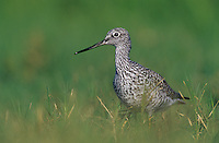 Greater Yellowlegs, Tringa melanoleuca, adult, Willacy County, Rio Grande Valley, Texas, USA, May 2004