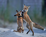 Foxes playing together by Roger and Jenny Zhou