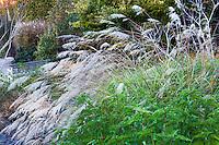 Miscanthus transmorrisonensis, Evergreen Maiden Grass flowering in garden