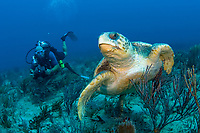 Scuba Diver and Loggerhead Sea Turtle (Caretta caretta), Palm Beach County, Florida, USA, Atlantic Ocean