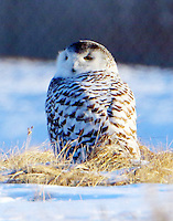 First-year snowy owl. This bird is banded and has black paint mark on the forehead for research ID purposes. Almost all snowy owls in the area are banded and marked- good for research but bad for photography.