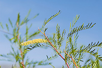 Honey mesquite, Prosopis glandulosa. Wildrose Canyon, Death Valley National Park, California