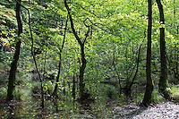 Erlenbruch, Erlen-Bruch, Feuchtgebiet, Sumpf, Tümpel, Bruchwald, Auwald, Schwarz-Erle, Schwarzerle, Erle, Ufergehölz, Alnus glutinosa, Common Alder, Aulne glutineux