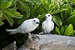 White Tern (Gygis alba) pair, Midway Atoll, Hawaiian Leeward Islands, Hawaii