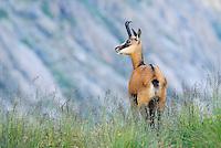Chamois (Rupicapra rupicapra), adult walking, Grimsel, Bern, Switzerland, Europe