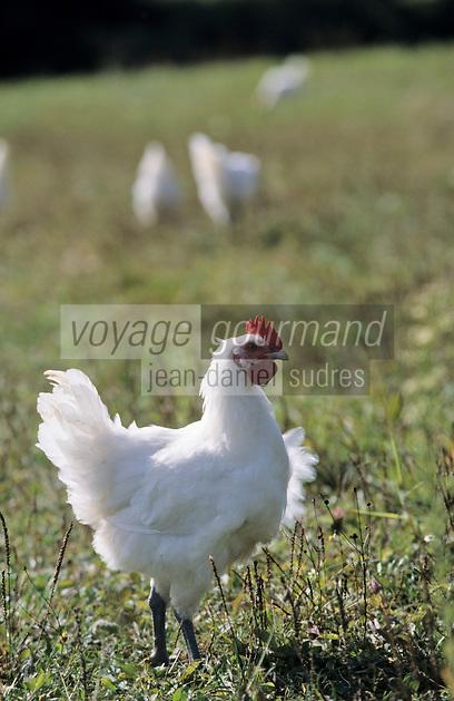 Europe/France/Bourgogne/71/Saône-et-Loire/ Louhans: élevage de poulets de Bresse AOC - Poulet en plein air