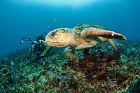 Scuba diver and Loggerhead Sea Turtle, Caretta caretta, in Palm Beach County, Florida, Atlantic