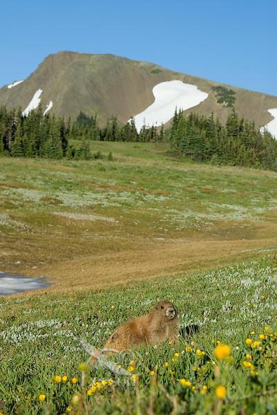 Olympic Marmot (Marmota olympus) in alpine area of Olympic Mountains, Olympic National Park, Washington.  Summe