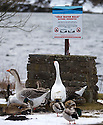 02/03/15  <br /> <br /> After a March snowfall, Geese and ducks take notice of a sign warning not to swim in the cold Winscar Reservoir near Dunford Bridge in the South Yorkshire Peak District. <br /> <br /> All Rights Reserved - F Stop Press.  www.fstoppress.com. Tel: +44 (0)1335 418629 +44(0)7765 242650