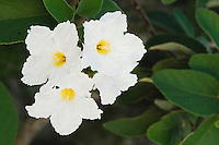 Mexican Olive tree (Cordia boissieri), blooming, Rio Grande Valley, Texas, USA